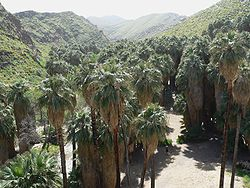 This grove of the native species Washingtonia filifera in Palm Canyon, California is growing alongside a stream running through the desert.