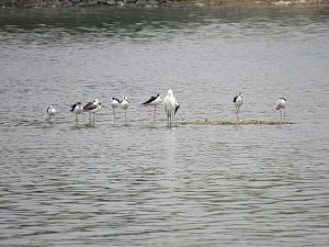 Avadi - Image: Water birds in avadi lake