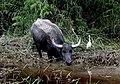 Water buffalo. (9391143988).jpg