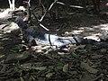 Water monitor- bayawak (9163206455).jpg