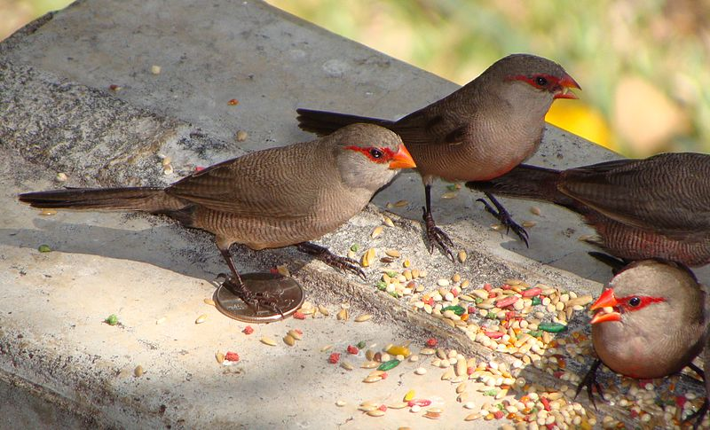 Ficheiro:Waxbill on coin, Ascension Island.JPG