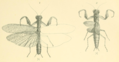 Werner 1907 Orthoptera Blattaeformia Taf III Figs. 1, 2.png