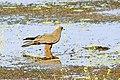 Western Marsh Harrier, Thrissur, India (23927309495).jpg