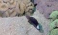 White-barred Goby (Amblygobius phalaena) (6059201579).jpg