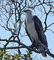 White-bellied Sea Eagle. Haliaeetus leucogaster - Flickr - gailhampshire.jpg