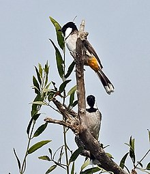 White-eared Bulbul (Pycnonotus leucotis) on a Khabbar tree (Salvadora oleoides) at Hodal Iws IMG 1182.jpg