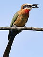 White-fronted Bee-eater, Merops bullockoides, at Rietvlei Nature Reserve, Gauteng, South Africa (15428576954).jpg