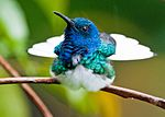 White-necked Jacobin 5.jpg