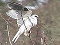 White-tailed Kite Oregon2.jpg