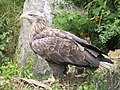 White-tailed Sea Eagle.JPG
