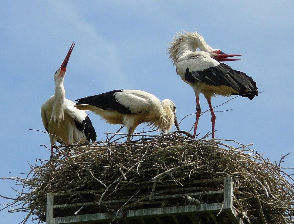 White Stork Welcoming