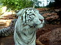 White Tigers - Haifa Zoo -1.jpg