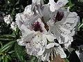 White flowers 052708.jpg