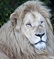 White lion (3867201089).jpg