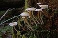 White mushrooms (4374837918).jpg
