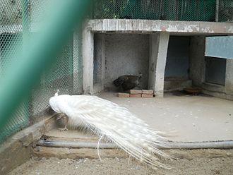 National Zoological Park Delhi - white peacock
