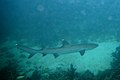 Whitetip reef shark Triaenodon obesus (5822471484).jpg