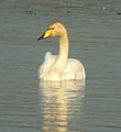 Whooper Swan at Big Waters.jpg