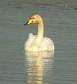 Whooper Swan at Big Waters.jpg