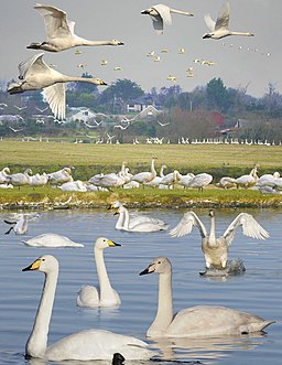 Whooper Swan from the Crossley ID Guide Britain and Ireland