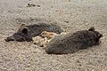 Wildschweine Tierpark Berlin 821-703-(118).jpg