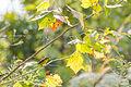 Wilson's warbler (21910264072).jpg