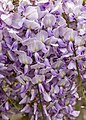 Wisteria sinensis, Christchurch Botanic Gardens, Canterbury, New Zealand 18.jpg