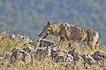 Wolf Eastern Rhodopes Stefan Avramov.jpg