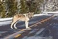 Wolf in the road near Artists' Paint Pots (c1db5324-7bad-486b-b315-ba31fa7034b9).jpg