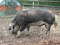 Wollschweine1.JPG