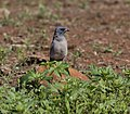 Woodswallows3 (8983805279).jpg