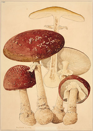 Worthington George Smith - Amanita muscaria