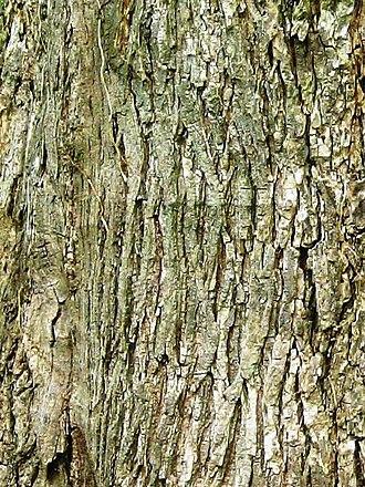 Ulmus glabra - Image: Wych elm bark
