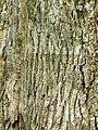 Wych elm bark.jpg