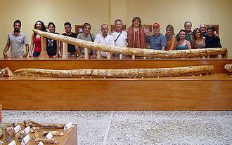Zygolophodon - Zygolophodon tapiroides tusks excavated in Milia (Greece)