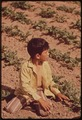 YOUNG CHILD OF MIGRANT FAMILY WORKS IN SUGARBEET FIELD - NARA - 543871.tif