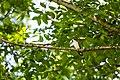 Yellow-billed cuckoo (40917329963).jpg
