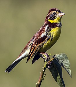 Yellow-breasted bunting in Nepal 02 -Cropped.jpg