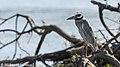 Yellow-crowned Night Heron, Costa Rica, January 2018 (40061257895).jpg