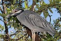 Yellow-crowned Night Heron 277828060.jpg
