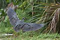 Yellow-crowned night-heron in flight, ding darling (35144254772).jpg