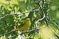 Yellow Warbler 20090628 6831 3675254124.jpg