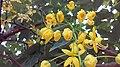 Yellow flowers of ap 01.jpg