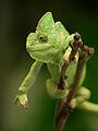 Yemen Chameleon (10512153715).jpg