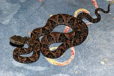 Young Terciopelo (Bothrops asper) found on the coach at the hotel (6781403567).jpg