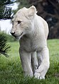 Young White Lion (5017745389).jpg