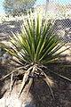 Yucca carnerosana - Leaning Pine Arboretum - DSC05576.JPG