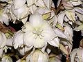 Yucca flower at night.JPG