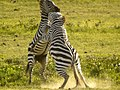 Zebra's (6693805905).jpg