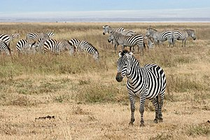 English: Zebras in the Ngorongoro Crater, Tanz...